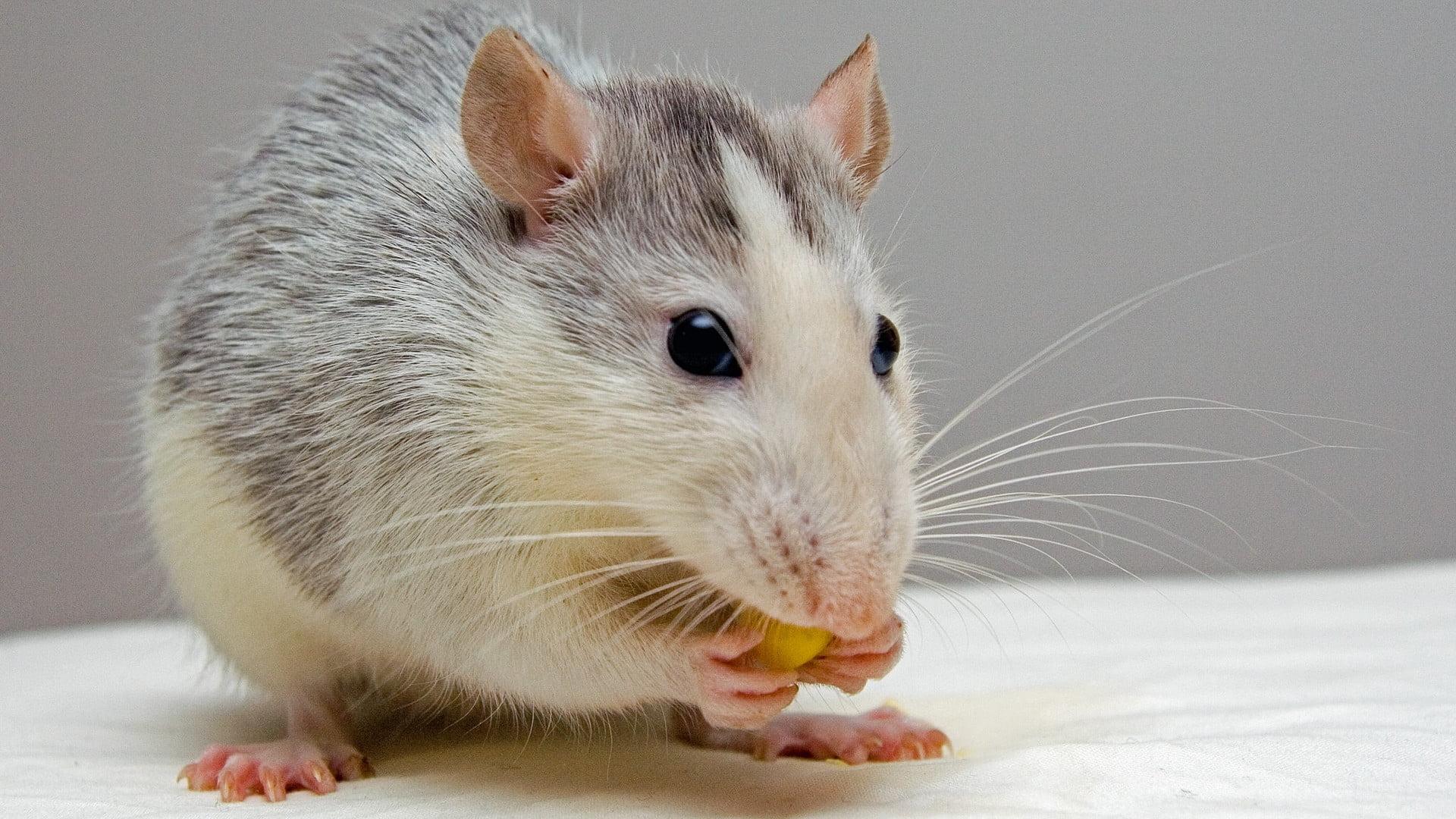 mininauka2_mysz