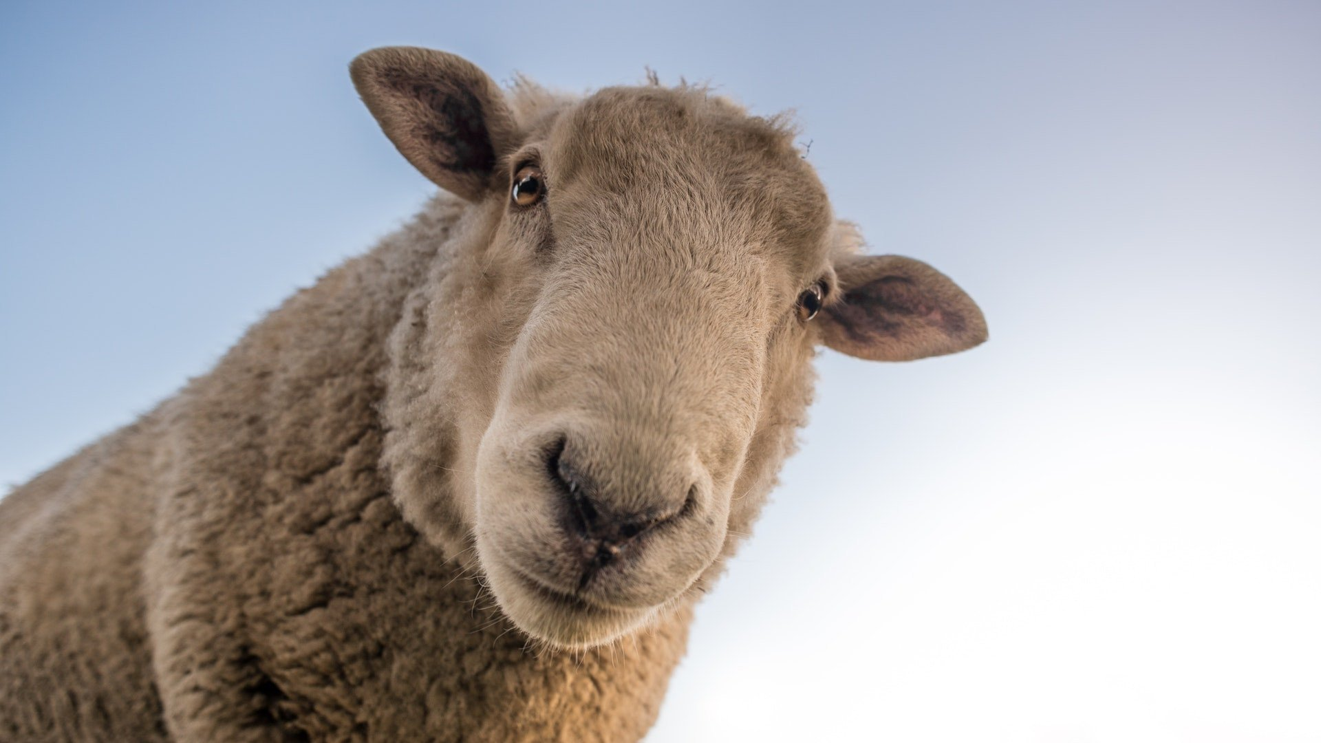 mininauka2_owca