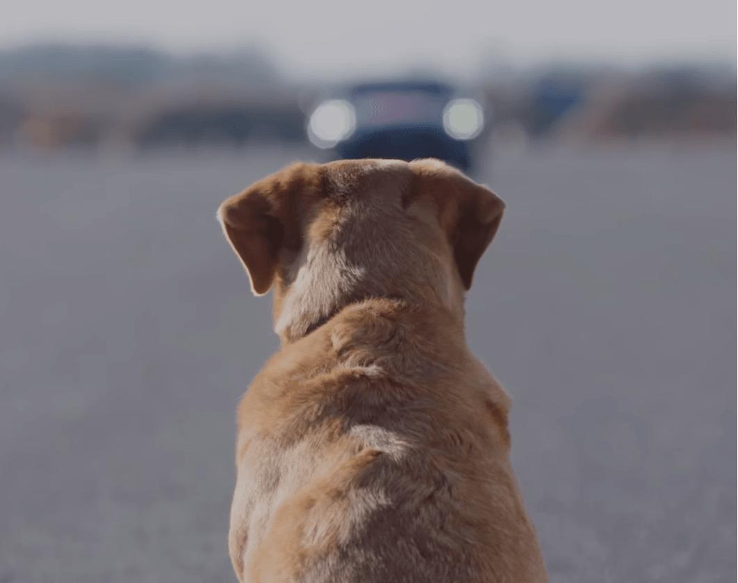 Ten pies chyba nie wiedział na co się pisze. W jego kierunku jechał samochód kierowany przez... smartfon Huawei 18