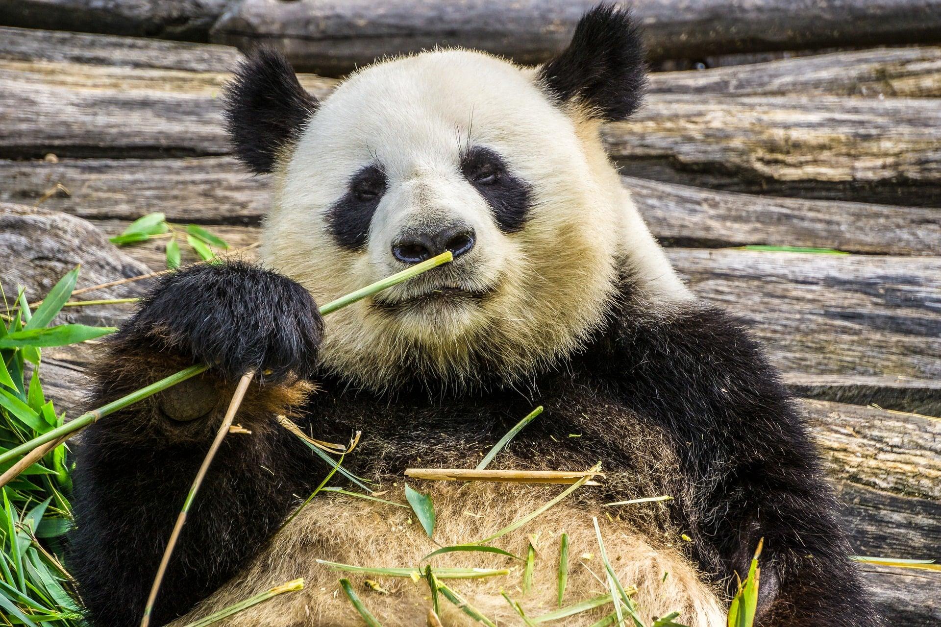 Jest już aplikacja do rozpoznawania pysków chińskich pand