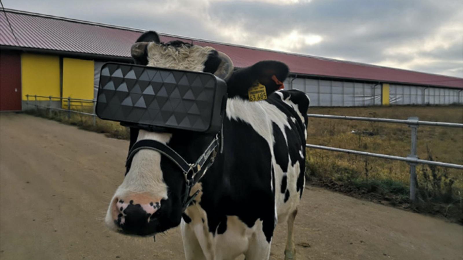 Krowy w goglach VR – ciekawy eksperyment przeprowadzony w Rosji