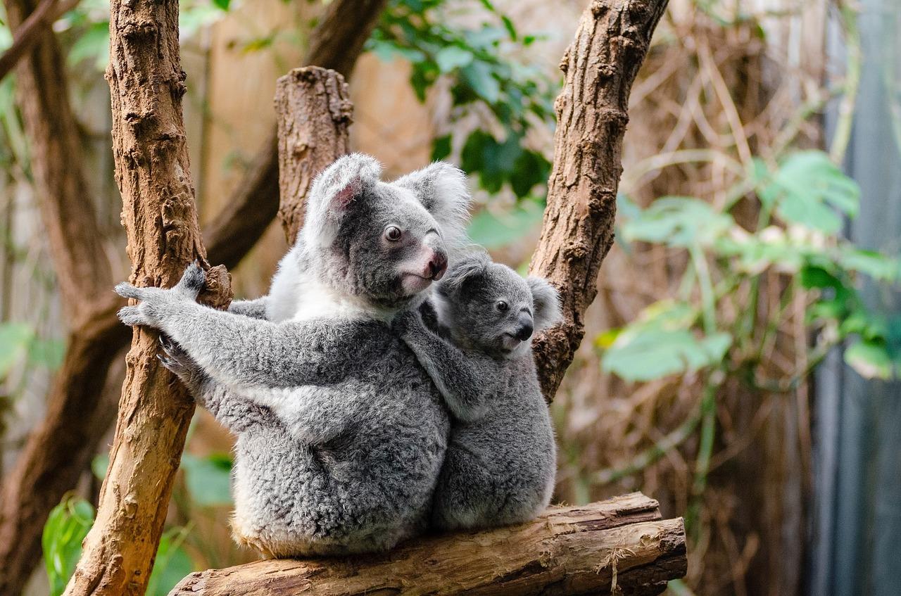 drzewo tree misie koala